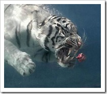 white_tiger_meat